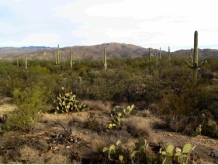 Image of a desert landscape with Cacti