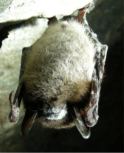 A bat with white nose syndrome